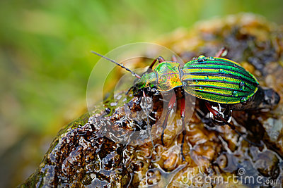 Golden ground beetle, Carabus auronitens, beautiful glossy insect on the wet stone. Water scene with shiny Golden ground beetle.