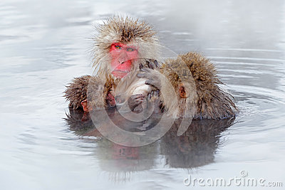 Monkey Japanese macaque, Macaca fuscata, family with baby in the water. Red face portrait in the cold water with fog. Two animal i