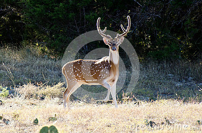 Axis Deer Chital Buck, velvet antlers, Texas Hill Country