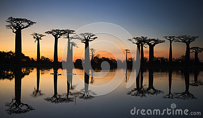 Baobabs at sunrise near the water with reflection. Madagascar.