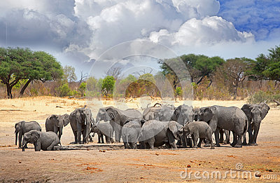 Herd of elephants congregate around a waterhole in Hwange National Park, Zimbabwe, Southern Africa