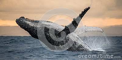 Humpback whale jumps out of the water. Beautiful jump. A rare photograph. Madagascar. St. Mary`s Island.