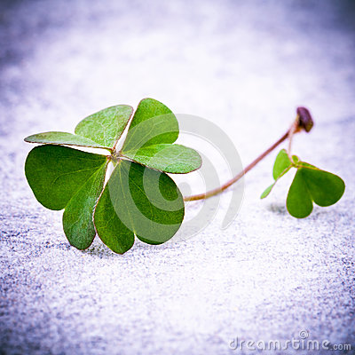 Clovers leaves on Stone .The symbolic of Four Leaf Clover the first is for faith, the second is for hope, the third is for