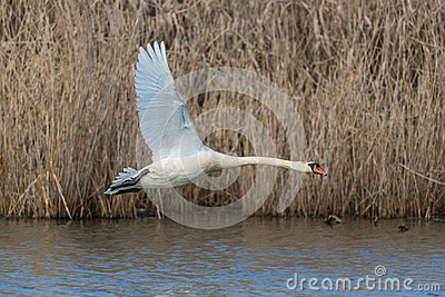 Mute swan Cygnus olor during flight with natural background