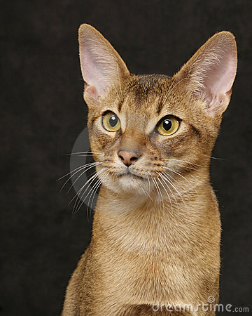 Usual Abyssinian portrait