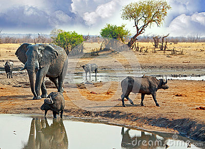 Large Elephant walking behind buffalo at a waterhole in Hwange National Park, Zimbabwe, Southern Africa