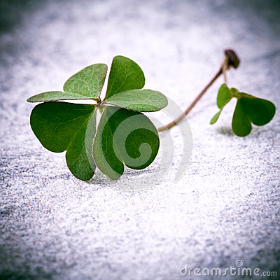 Clovers leaves on Stone .The symbolic of Four Leaf Clover the fi