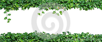 Heart shaped leaves vine, devil`s ivy, golden pothos, isolated o