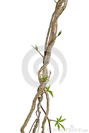 Dried liana plant with wild morning glory vine climbing isolated