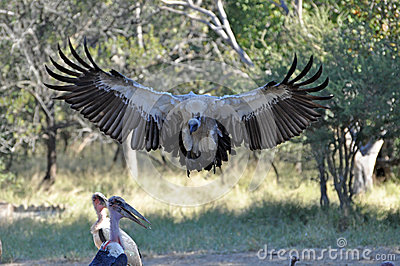 Vultures about to swoop with Marabou stork