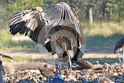 Vultures spreads its wings