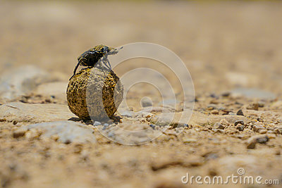 Dung Beetle, Coleoptera