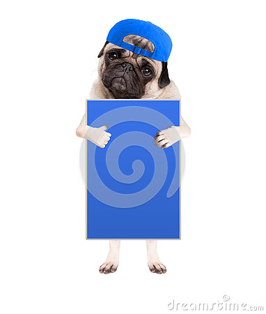 Cute pug puppy dog with cap, standing up holding blank blue sign and giving a like with thumb, isolated on white background
