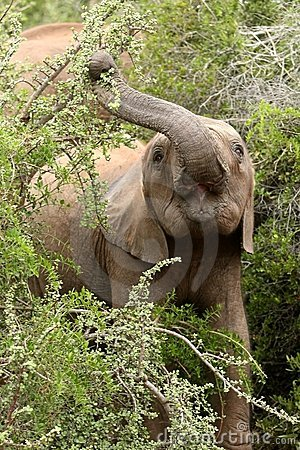 Young Elephant Eating Leaves