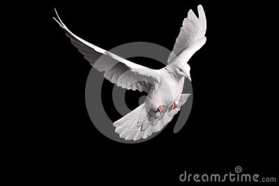 White dove flying on black background for freedom concept in clipping path, international day of peace 2017