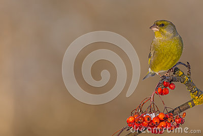 European Greenfinch - Carduelis chloris
