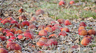 Frozen apples in an apple orchard on early sunny december morinig