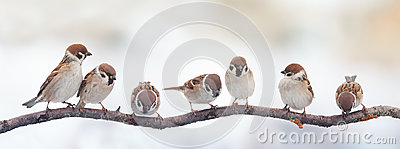 Funny birds sparrows sitting on a branch on the panoramic picture