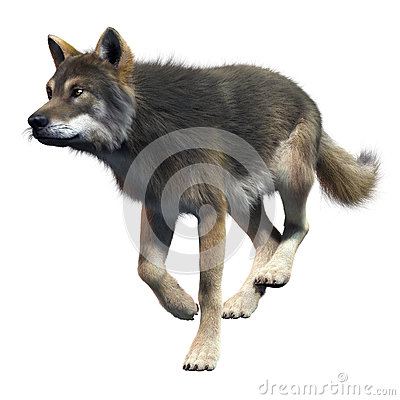 Gray Wolf Running Front View