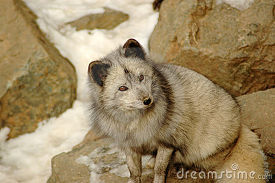 Sagacious look. Arctic fox.