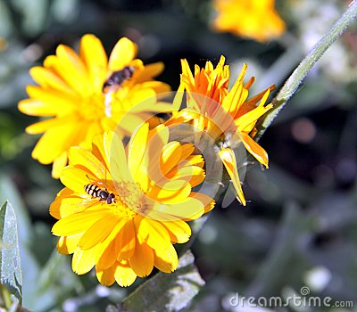 Hoverfly, or syrphid fly on Calendula flower