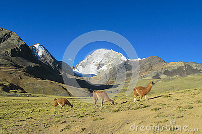 Lamas in the Andes