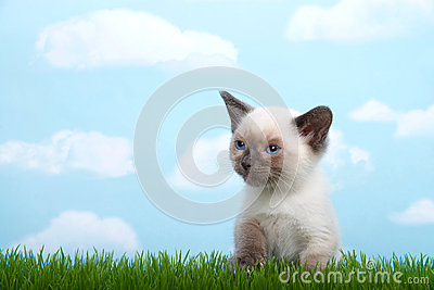 Siamese kitten sitting in grass