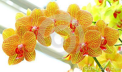 Golden yellow phalaenopsis orchids
