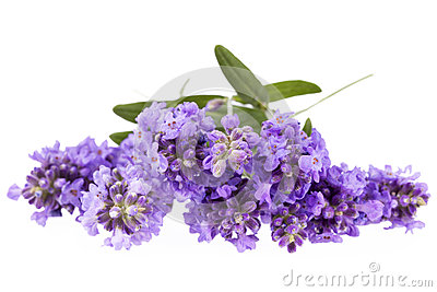 Violet  lavendula flowers isolated on white background, close up