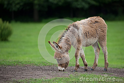 Donkey in a clearing