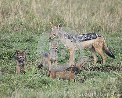 Mother black-backed jackal standing with three cubs