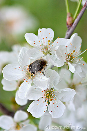 Blooming apple tree branch and dark beetle