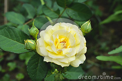 Cose up yellow rose