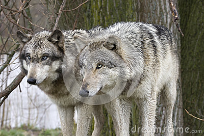 Two Wolves Staring Intently