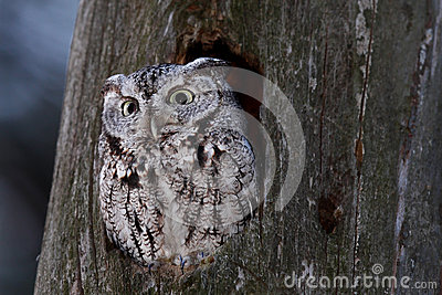 Eastern screech owl in Canada