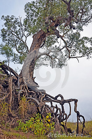Old tree with exposed tangled roots