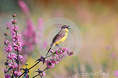 Bird the yellow Wagtail sings on a meadow in summer day