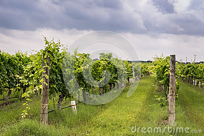 Rows of grapevines in Texas Hill Country vinyard