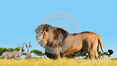 Lion on the savannah