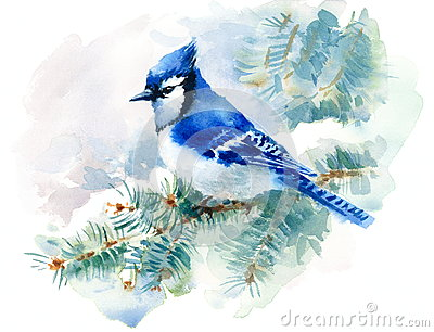 Blue Jay Bird on the Green Pine branch Watercolor Winter Snow Illustration Hand Painted isolated on white background