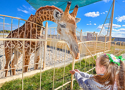 Young funny giraffe and beautiful little girl at the zoo. Little girl feeding a giraffe at the zoo at the day time.