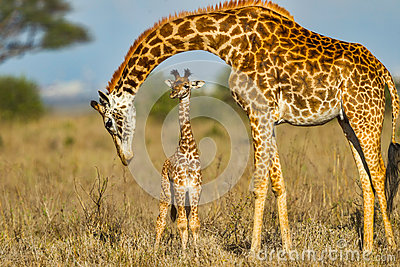 Mother Masai Giraffe Protecting Baby