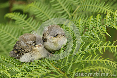 Two cute baby willow warblers Phylloscopus trochilus waiting for their parents to come back and feed them.