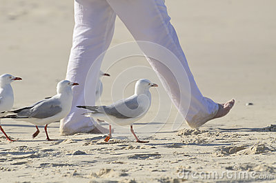 Step in Time! Unique fun sea birds seagulls walking in time with person on beach
