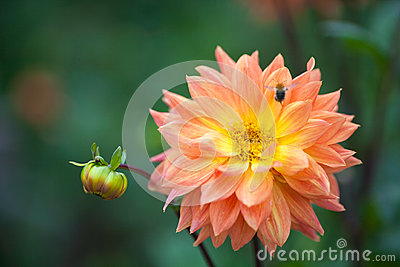 Dahlia orange and yellow flower in garden with bee