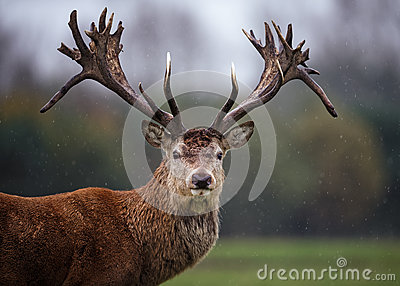 Facial Portrait of Red Deer Stag in Rain