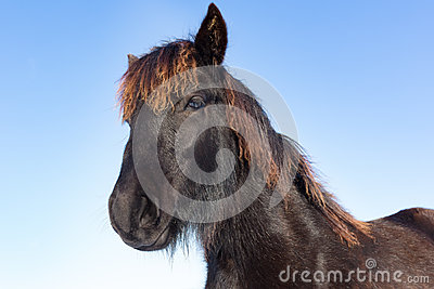 Portrait head of black Frisian horse