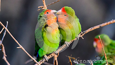 Affectionate Rosy faced Lovebirds