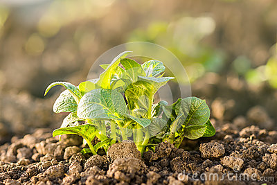 Potato plant growing on soil.
