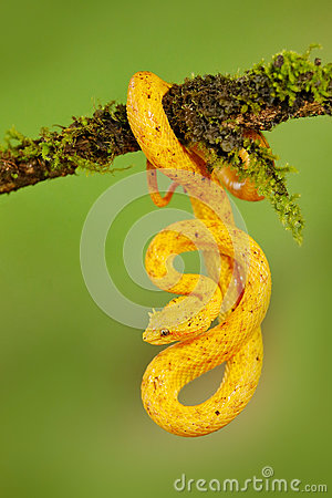 Eyelash Palm Pitviper, Bothriechis schlegeli, on the green moss branch. Venomous snake in the nature habitat. Poisonous animal fro